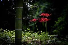 ヒガンバナ 2018 #4ーRed spider lily 2018 #4 (kurumaebi) Tags: yamaguchi 秋穂 山口市 nikon d750 nature landscape 花 ヒガンバナ 彼岸花 flower red spider lily