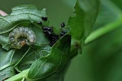 Crambid Snout - Herpetogramma? (BSendelbach) Tags: caterpillars mothcaterpillars moth larvae mothlarvae mothlarva mothcaterpillar caterpillar insects bugs