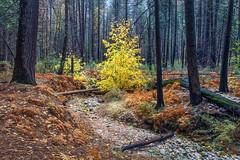 Winter Comes Soon (Kirk Lougheed) Tags: acermacrophyllum california usa unitedstates yosemite yosemitenationalpark autumn bigleafmaple fall forest landscape maple nationalpark outdoor park tree