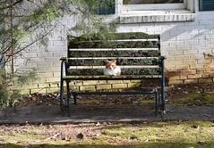 I spotted this fellow while on my walk today. (rootcrop54) Tags: orange ginger tabby cat lichen glider neko macska kedi 猫 kočka kissa γάτα köttur kucing gatto 고양이 kaķis katė katt katze katzen kot кошка mačka gatos maček kitteh chat ネコ cc100 bench lichens cc300