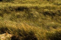 Castricum aan Zee : la lande (Olivier Wajsfelner) Tags: castricumaanzee hollande paybas lande dune sony a7rii sony24105 nederlands