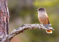 Siberian jay   Lavskrika   Perisoreus infaustus  Perisoreus infaustus (Teodor Carselind photo) Tags: autumn jay sweden canon bird fåglar