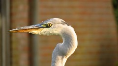 Portrait of a great blue heron (j.verduin) Tags: heron blue portrait