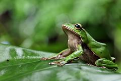 2J4A8086 (ajstone2548) Tags: 12月 樹蛙科 兩棲類 翡翠樹蛙