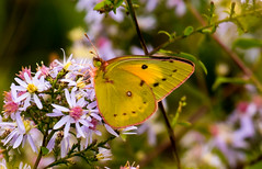 7K8A7612 (rpealit) Tags: scenery wildlife nature weldon brook management area orange sulphur butterfly