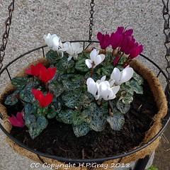 Cyclamen (Shug1) Tags: flower cyclamen inmygarden