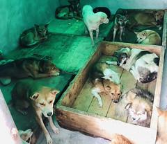 微信图片_20181018125637 (Animals Asia) Tags: animalsasia dog china catanddogwelfare rescueddogs dogshelter quiming sichuanqimingsmallanimalprotectioncenter