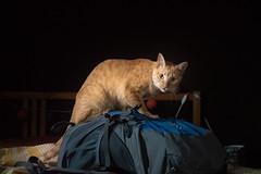 model (Hoshiara) Tags: cat chat model mannequin sac bag regard eyes look animal