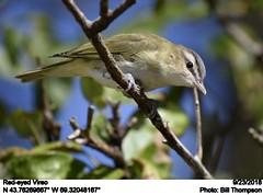 Red-eyed Vireo (Bill.Thompson) Tags: redeyedvireo vireoolivaceus monheganisland me birds