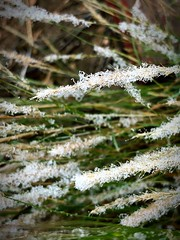 """""""First Snow On The Grasses"""" (bradhodges09) Tags: grasses newmexicophotography newmexico poetryinpictures poetry nature seasonschange autumn winter closeups closeup snowflakes snow"""