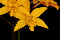 Laelia Briegeri (Ligia M Lo Re) Tags: nature naturaleza natureza flores fleurs fiore fiori flowers mylens lens100mm canon5dmarkiii canon yelloworchids orquideasbrasileiras orquidófilos orchidarium gardening iloveorchids orchidslovers meujardim mygarden orquidário orkide orchidée orquídeas orchids