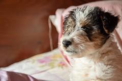 GFC_0244 (Willini) Tags: willini fox terrier foxterrier amigo lente bohke nikon mascota animal ternura