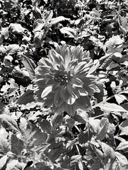(petitgenetalice) Tags: fleurs fauneetflore noirblanc nature