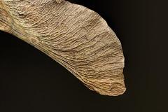 Maple seed (Millie Cruz) Tags: creased acer maple seed sapindaceae samara mapletree whirlybirds helicopters maplekeys texture wrinkled crinkledwrinkledfoldedorcreased macromondays