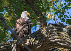 Bald Eagle (Lynn Tweedie) Tags: loessbluffsconservationarea baldeagle beak feathers 7dmarkii bird missouri canon tree eos sigma150600mmf563dgoshsm ngc animal