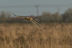 Short Eared Owl-8711 (WendyCoops224) Tags: 100400mml 80d fens canon eos ©wendycooper short eared owl asio flammeus
