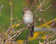 Spotted Flycatcher (Gary Chalker, Thanks for over 3,000,000. views) Tags: spottedflycatcher flycatcher bird pentax pentaxk3ii k3ii pentaxfa600mmf4edif fa600mmf4edif fa600mm 600mm