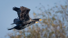 Cormorant (JS_71) Tags: nature wildlife nikon photography outdoor 500mm bird new autumn see natur pose moment outside animal flickr colour poland sunshine sky tree cormorant flight