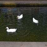 Big Spring International Park 06-13-2018 15 - White Ducks thumbnail