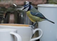 _MG_8583 (hawkeyedigipics) Tags: bluetit watersmeettearooms watersmeet nationaltrust exmoor lynmouth nationaltrusttearooms eastlyn birdsontheeastlyn