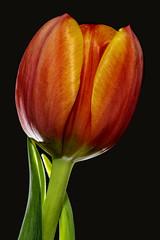 Tulip 2018-10-29 (7D_182A0412) (ajhaysom) Tags: tulip flower flash greenvale melbourne australia canoneos7dmkii canon100mmlmacro