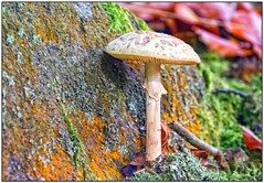 Deathly Beautiful (Sean....) Tags: rock stone colour toadstool foraging forestfloor fungi nature fungus