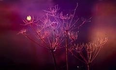 the golden one (Simon[L]) Tags: cowparsley blue pink autumn sundown seedhead seed umbellifer meyeroptik orestor100mmf28 m42 backlight fantasy cobwebs vibrant golden bokeh fireworks