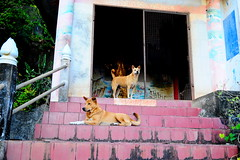 ,, Spirit House ,, (Jon in Thailand) Tags: dog dogs k9 k9s mama rocky thespirithouse themonkeytemple jungle green red blue yellow pink burgundy gold tan nikon nikkor d300 175528 littledoglaughedstories
