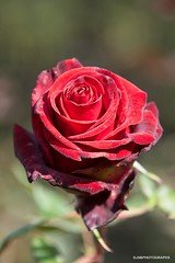 Red Rose (JSB PHOTOGRAPHS) Tags: jsb0925 bokehlicious bokeh redrose rose nikon d3 eugeneoregon owenrosegarden owenmemorialrosegarden