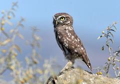 Kalochori-Litle Owl (MoGoutz) Tags: athene noctua little owl raptor kalochori chevêche dathéna κουκουβάγια καλοχώρι