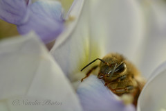 """""""Leave me alone, it's too early!"""" (avnz101) Tags: bee nature flower macro"""