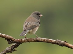 Ahead of Schedule? (Slow Turning) Tags: juncohyemalis darkeyedjunco bird perched tree branch stick autumn fall southernontario canada