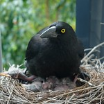 Cosy in the Currawong Nest thumbnail