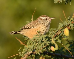 2018-09-28 Green Valley, AZ 4 (JanetandPhil) Tags: 20180910artxaznmvacation birds nikon nikkor d800 800mmf56 greenvalleyaz cactuswren campylorhynchusbrunneicapillus