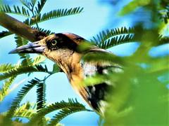 Bird in a tree (thomasgorman1) Tags: grackle desert canon az arizona leaves nature birds