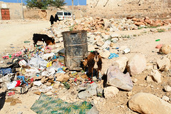 Ziegen .... (Obachi) Tags: yemen socotra soqotra flickr jemen