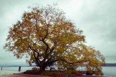 Herbst (AxelN) Tags: autumn deutschland herbst see himmel germany autumnal fall clouds badenwürttemberg baum tree lake water wasser sky lakeconstance überlingen bodensee wolken herbstlich