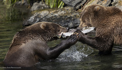 Not Share Bears (rishaisomphotography) Tags: kodiakbrownbear grizzlybear siblings salmon tugowar sharing river fish predator nature naturephotographer wildlife wildlifephotography kodiak alaska rishaisomphotography moments wild free behavior canonshooter