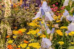 Chelsea Flower Show (Keith in Exeter) Tags: chelsea flower show plant garden london iris achillea