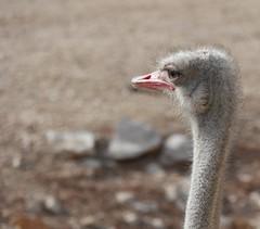 autruche (gilles13010) Tags: animal zoo autruche oiseaux bec