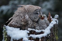 Great Grey Owls - Snowy Morning at the Nest (www.jessfindlay.com) Tags: greatgrayowl greatgreyowl ggo ggow owl raptor britishcolumbia beautyinnature beautifulbritishcolumbia canada birdsofbc birdsofcanada birdsofprey wwwjessfindlaycom jessfindlay jessfindlayphotography strixnebulosa