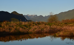 Grant Narrows Regional Park (SonjaPetersonPh♡tography) Tags: pittmeadows pittpoulder pittlake pittriver grantnarrowsregionalpark regionalpark park bcparks bc britishcolumbia canada nikon nikond5300 scenic scenery landscape mountains mountainlandscape mountainvistas dyke mapleridgedykes pittmeadowsdyke trail wildlife birds waterfowl reflections waterreflections