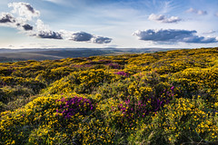 August colour on Dartmoor - NK2_6225 (Jean Fry) Tags: corndondown dartmoor dartmoornationalpark devon englanduk moorland nationalparks uk westcountry gorse heather moorlandcolour