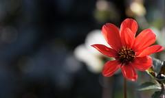 Red (Nephentes Phinena ☮) Tags: dahlia dahlie dahliengartenhamburg nikond500 sigma50500mmf463