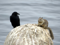 2018-083105 (bubbahop) Tags: 2018 amtraktrip monterey california usa coastal hike bird squirrel animal