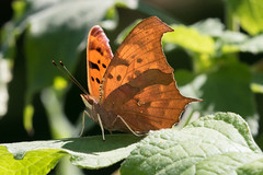 Question Mark Butterfly (Scott Alan McClurg) Tags: polygoniainterrogationis questionmarkbutterfly backlit bug butterfly closeup macro