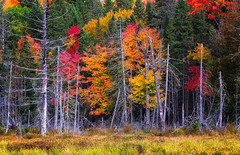Fall colours (Saptashaw Chakraborty) Tags: canada ontario algonquinprovincialpark landscape fall autumn forest tree trees orange red grass green opening burnt