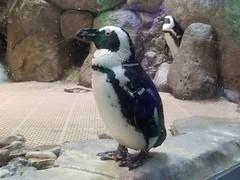 2018-09-30 10.51.25 (littlereview) Tags: carolinas littlereview 2018 travel museum animal penguin aquarium blog