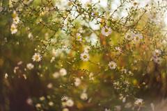 _IMG4001 (angel.doychinov) Tags: helios442 pentax k1 flowers bokeh m42 beyondbokeh pentaxflickraward