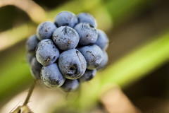 Ronce bleuâtre (Rubus Caesius) (artnow2940) Tags: romillysuraigre graine ronce bleuatre